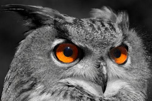Совы с желтыми глазами