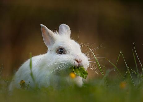 Обои Кролик ест траву