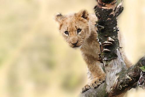 Обои Любопытный маленький львенок залез на сухую корягу