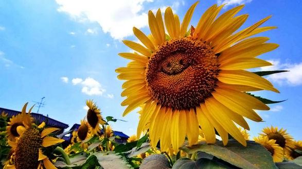 Обои Подсолнух улыбается солнечному летнему дню