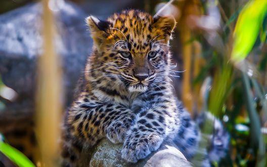 Обои Красивый детеныш леопарда лежит на камне