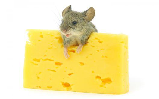 Обои Кусок сыра и счастливый мышонок на белом фоне