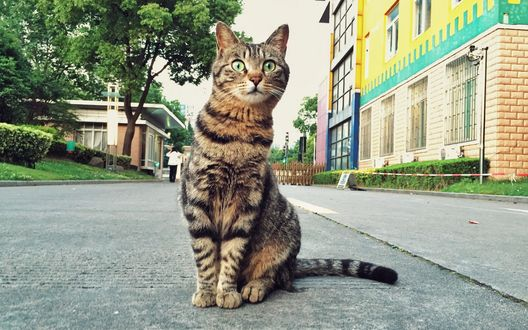 Обои Полосатый кот с удивленным взглядом сидит на дороге