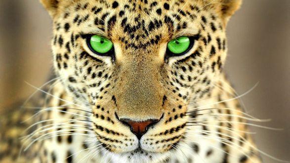 Обои Зеленый взгляд леопарда на сером размытом фоне