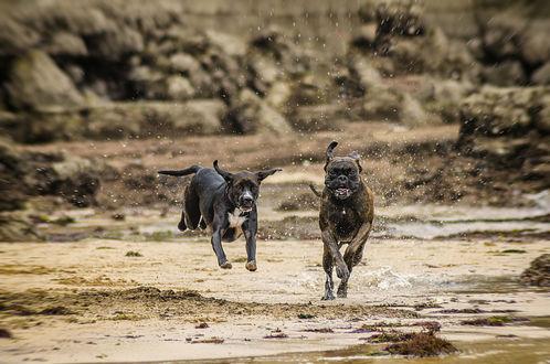 Обои Две бегущие по воде собаки