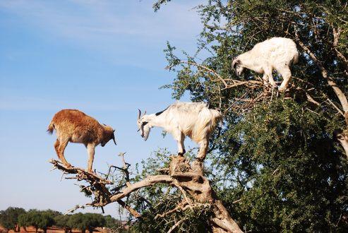 Обои Три козла сидят на дереве