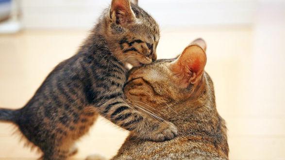 Обои Полосатый котенок стоит на задних лапках, обнимает и целует маму кошку