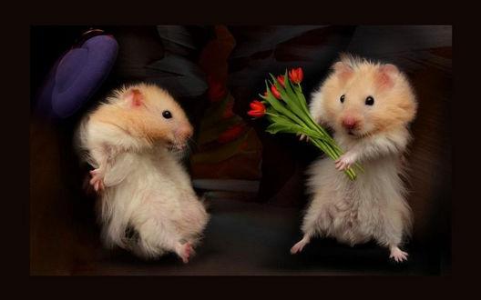 Обои Мальчик хомячок дарит букетик красных тюльпанов девочке хомячку, у которой от неожиданности слетает шляпка с головы