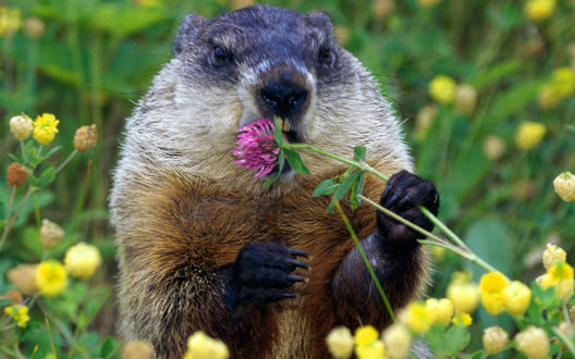 Обои Суслик держит в лапе и кусает цветок клевера