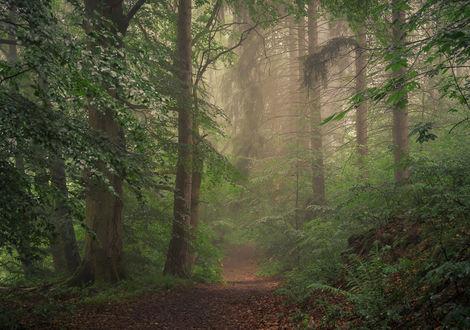 Обои Лес, окутанный туманом