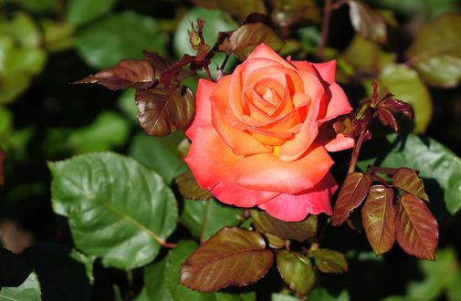 Обои Раскрывшийся бутон оранжевой розы