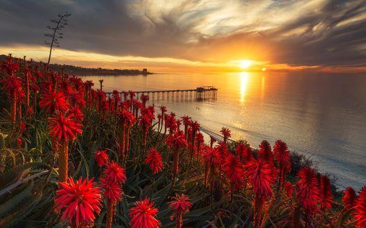 Обои Цветущие кактусы на фоне заката на побережье моря