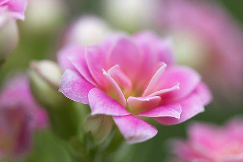 Цветок нежный