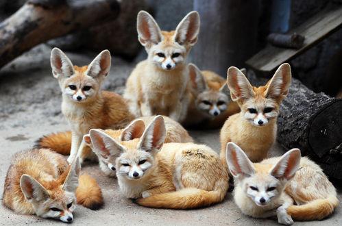 Обои Fennec fox / лисы фенек, маленькие и большеухие из зоопарка