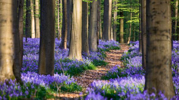 Обои Ковер сиреневых цветов среди деревьев в лесу, весна в Бельгии