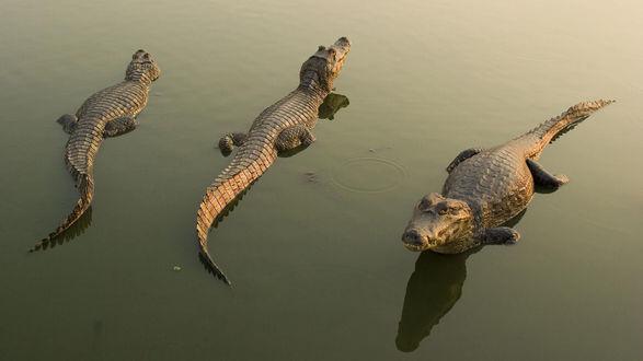Обои Три крокодила отдыхают на ровной глади воды