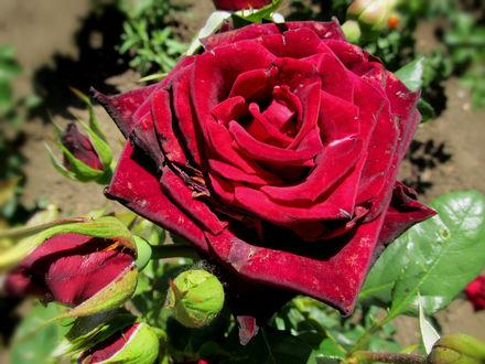 Обои Бордовая роза с бутонами