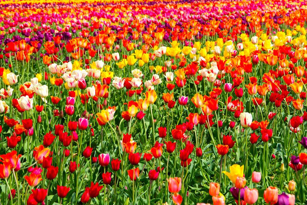 Множество разноцветных тюльпанов – к веселой, шумной компании, пустому времяпрепровождению.