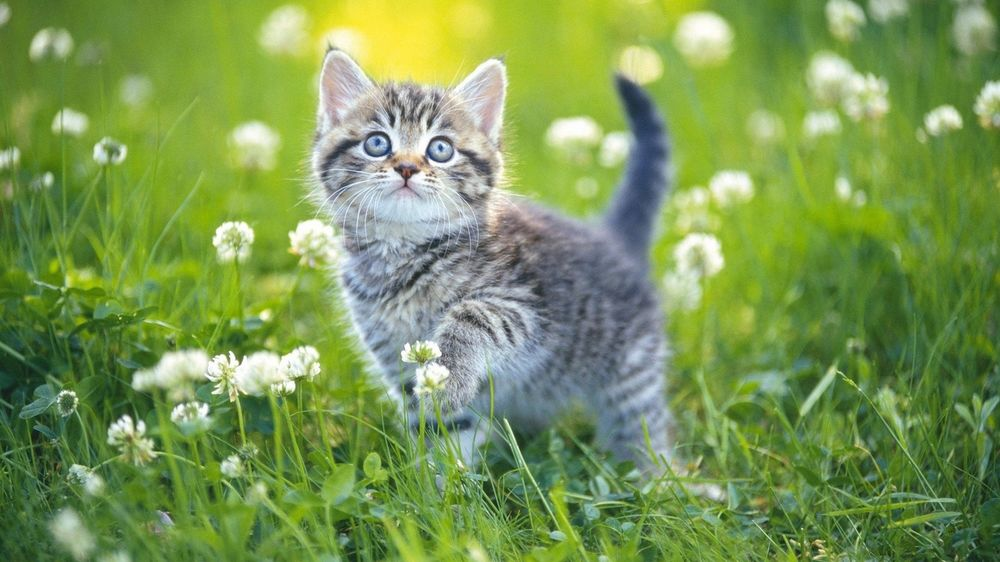 Обои Маленький серый котенок гуляет по траве с полевыми ...