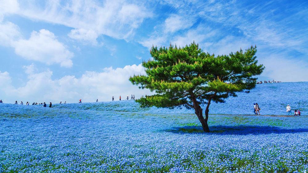 Обои для рабочего стола Невиданное буйство голубых цветов американских незабудок