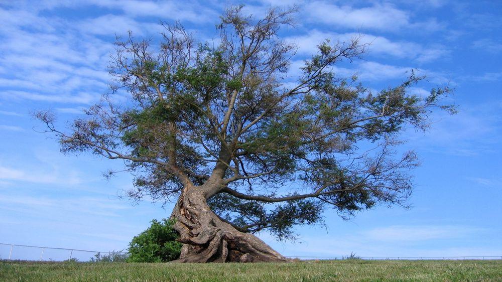 Обои Одинокое дерево с мощными корнями на фоне неба ...