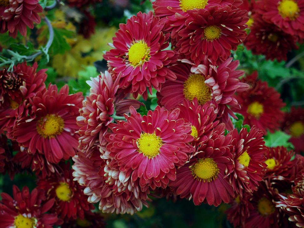 бывают ли красные хризантемы фото пожара могла