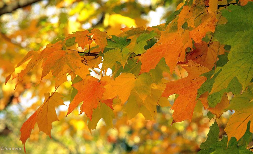 обои на рабочий стол кленовые листья осенью 14817