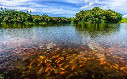 Обои Косяки рыб в мелкой реке, берега которой заросли деревьями