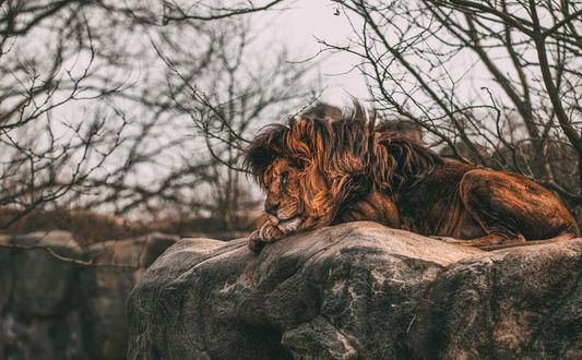 Обои Лев отдыхает на камнях