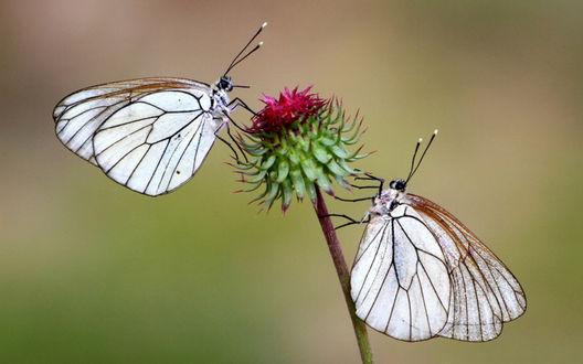 Обои Бабочки сидят на на не раскрывшемся бутоне цветочка