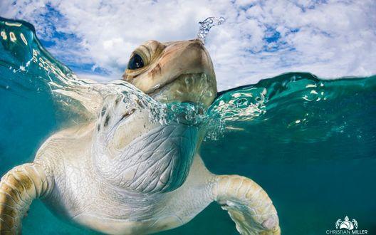 Обои Черепаха плавает в море