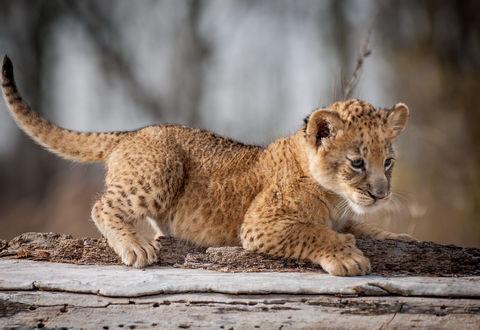 Обои Львенок на стволе дерева
