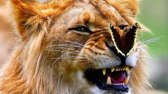 Обои Лев оскалил пасть на бабочку на носу, но она его не боится