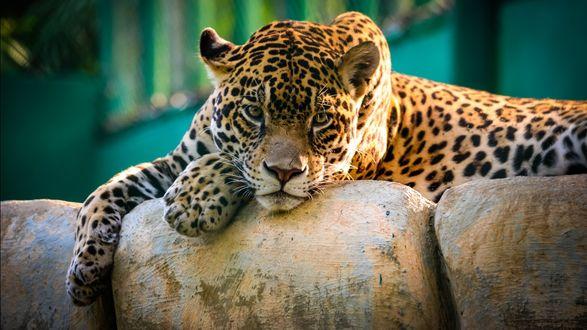 Обои Леопард лежит на камне