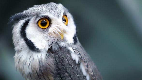 Обои Серо-белая сова с янтарными глазами повернула голову