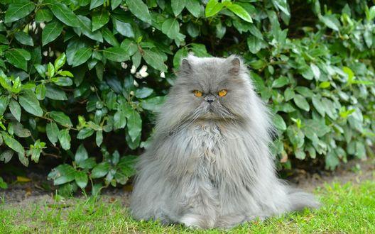 Обои Персидский, серый кот сидит на траве возле зеленого кустарника