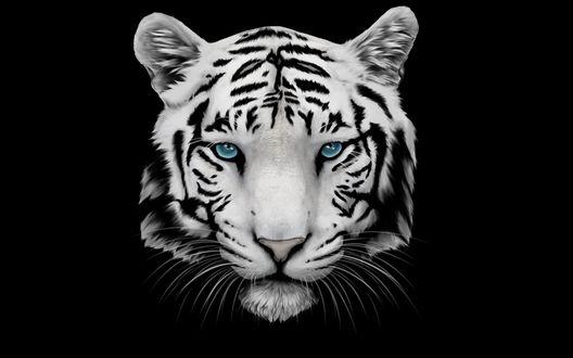 Обои Морда белого тигра с голубыми глазами на черном фоне