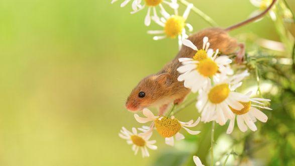 Обои Маленькая полевая мышь в ромашках