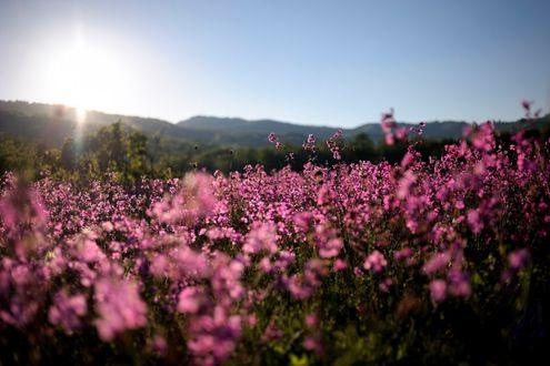 Обои Поляна розовых цветов в утренние часы, ву Sunsword & Moonsabre