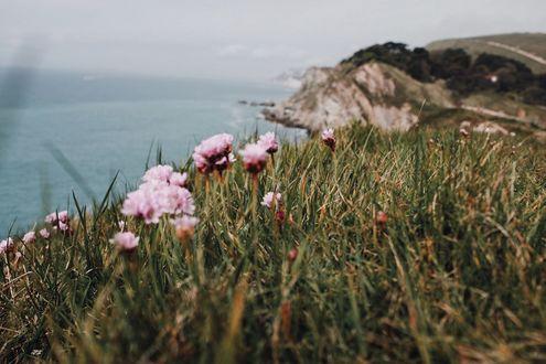 Обои Трава с розовыми цветами в макросъемке на скалистом холме побережья какого то водоема, Dorset, England Дорсет, Англия