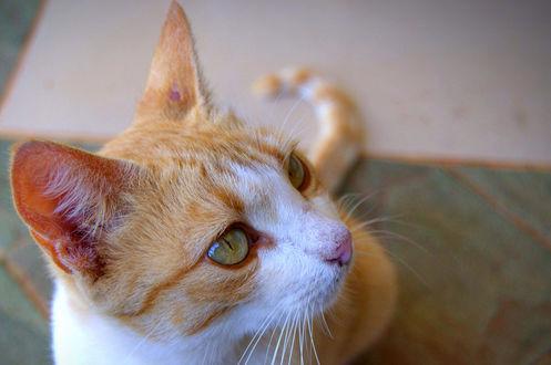 Обои Рыжий кот смотрит в сторону