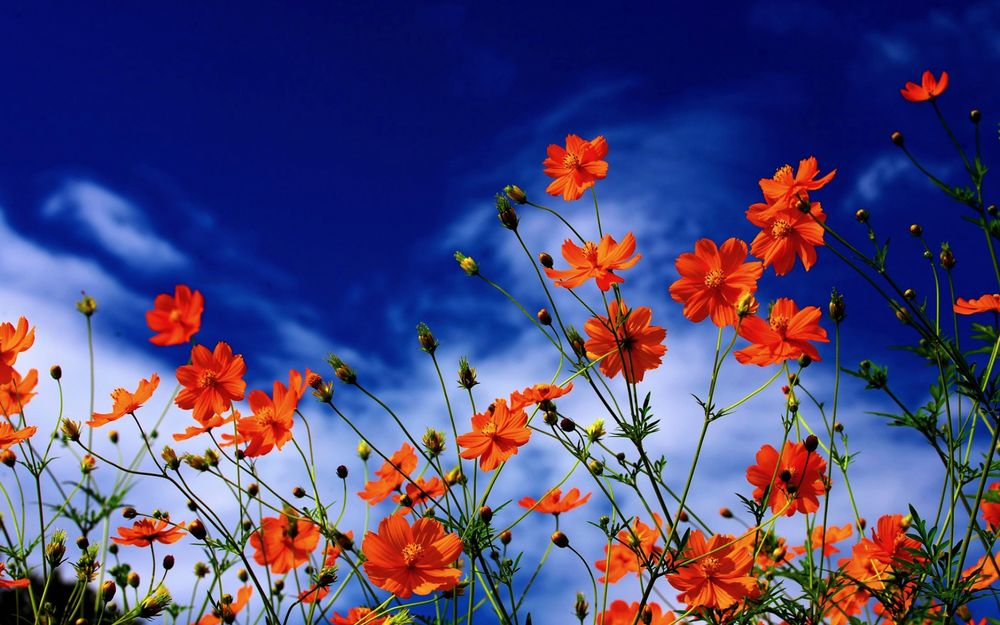 Космея фото цветов оранжевая