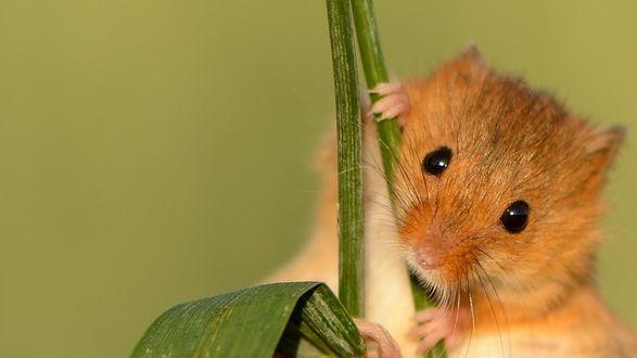 Обои Степной мышонок сидит на зеленом стебле травы на зеленом фоне