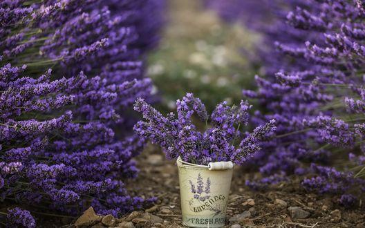 Обои Цветы лаванды в ведерке (Lavender, Fresh Pick)