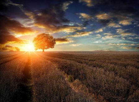 Обои Закат в лавандовом поле освещает одинокое дерево
