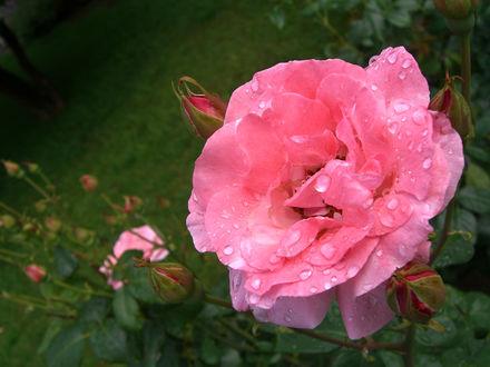 Обои Розовая роза в каплях росы, ву Mikel Ortega