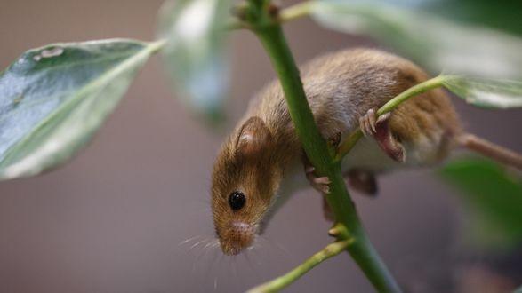 Обои Золотистая мышь полевка на стебле с листьями