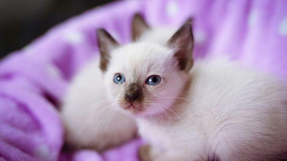 Обои Голубоглазые сиамские котята на размытом сиреневом фоне
