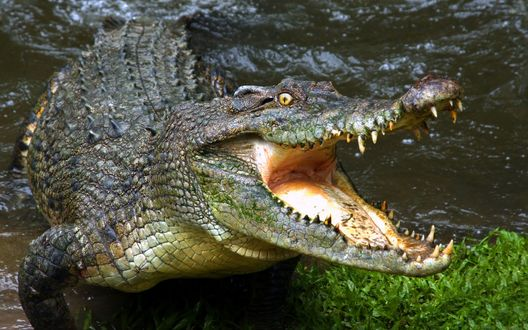 Обои Крокодил с открытой пастью