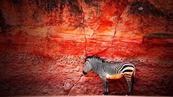 Обои Зебра на фоне красной стены